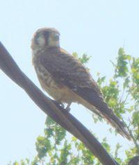 Kestrel or sparrow hawk