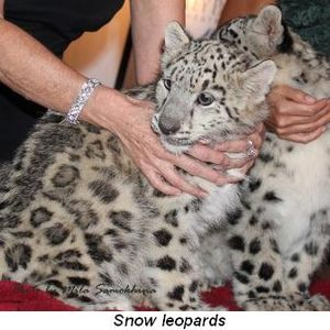 Blog 12 - Snow leopards
