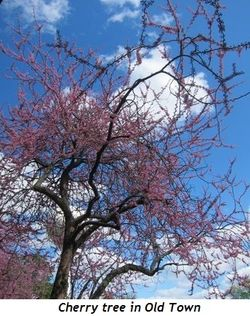 8 - Cherry tree in Old Town