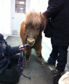 Mane in Heaven's miniature therapy horse Lunar